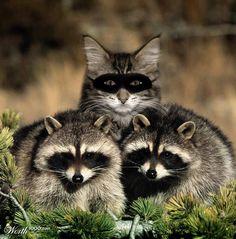 cat raqccoon